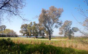 Meravigliosi eucalipti